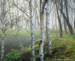 Forests_Trees_Birch_434811.jpg